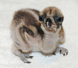 Is It A Dinosaur Or An Osprey Chick Pamela Mcdowell